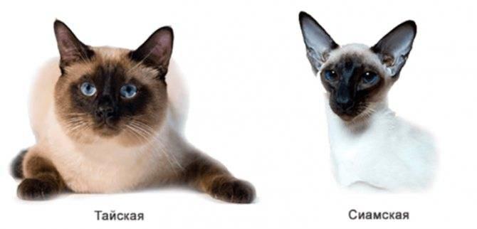 Отличия сиамских и тайских кошек по внешнему виду и характеру