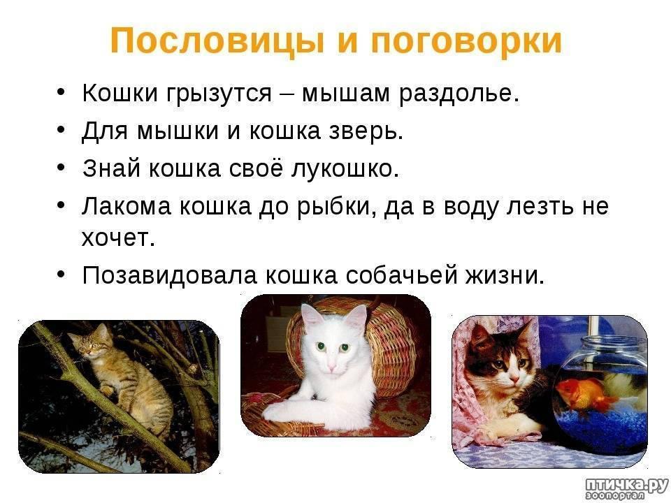 Что говорят приметы о белой кошке
