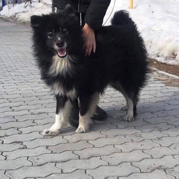 Лопарская оленегонная собака: фото, описание породы, характер