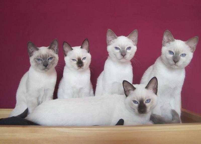 Окрас кошки породы колор пойнт