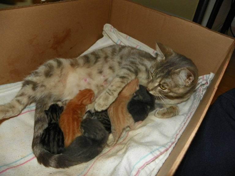 Помощь кошке, которая рожает в домашних условиях: как начинаются роды и рождаются котята, чем помочь питомице?