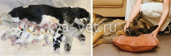 Как лечить эклампсию у кошек после родов? - zhivomag