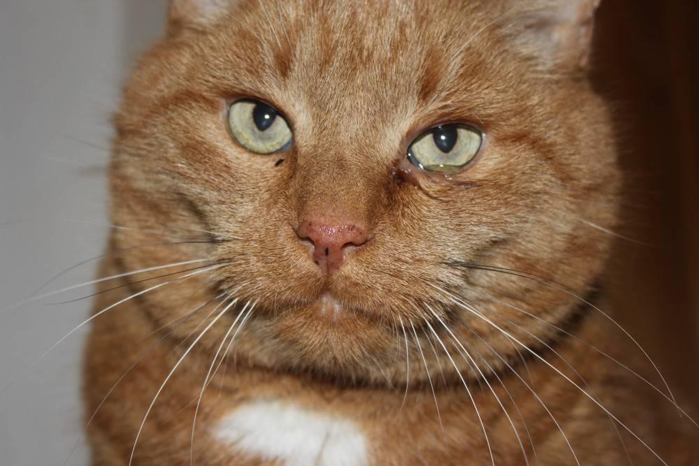 Коричневые выделения из глаз у кошек: причины, чем лечить в домашних условиях