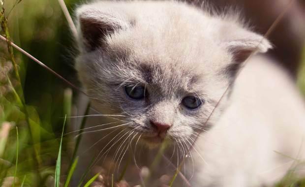 Британские имена мужские для кота. как назвать кота британца мальчика.