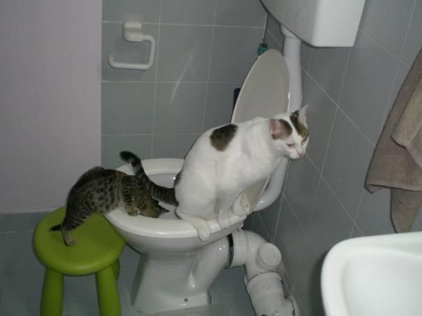 Кот не может сходить в туалет по большому: что делать